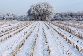 snow on cornfields